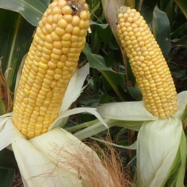 Augustus Maize Variety from Field Options