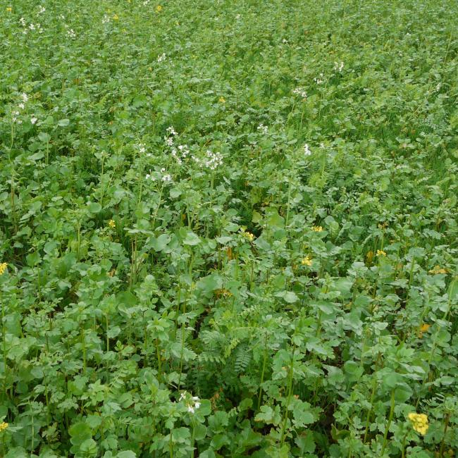 Green Manure Soil Buster