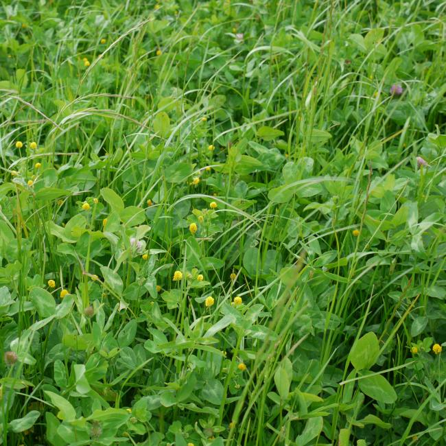Eco-Pasture grass mix