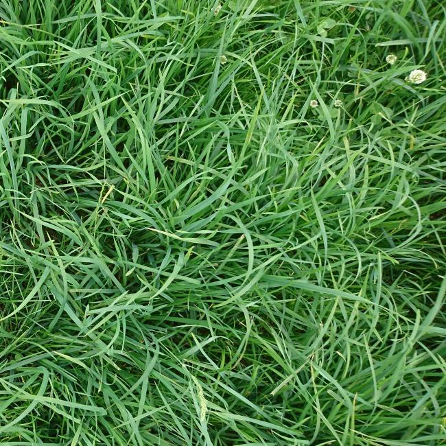 Invincible grass seed mix