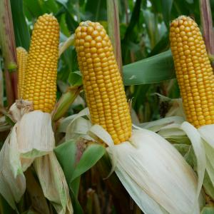 Arvid Maize Variety from Field Options