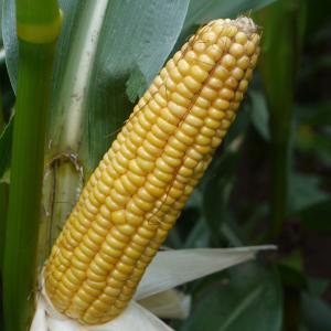 Emblem Maize from Field Options