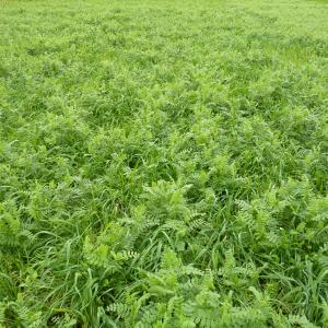 N-Rich (forage Rye and Winter Vetch mixture)