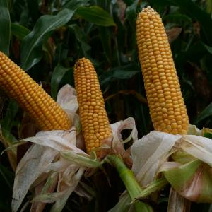 P7326 Maize Variety from Field Options