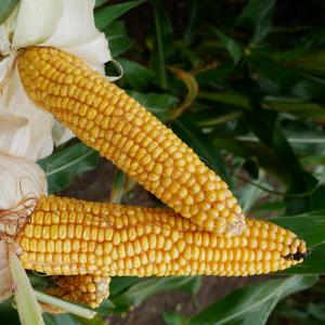 P7034 Maize From Field Options