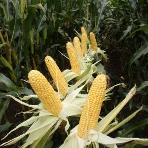 Rodriguez Maize Variety from Field Options Ltd