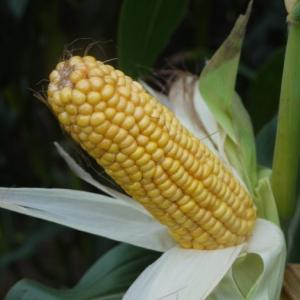 Sergio Maize Variety from Field Options Ltd